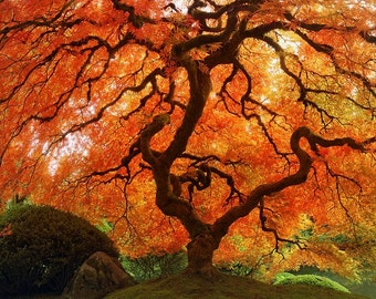 "Fall Nature Photography ""Autumn Zen"" Red Orange Japanese Maple Tree Photo, Portland Japanese Garden Art Print, Simple Asian Art Wall Decor"