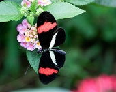 White, Red and Black Butterfly 2 - 5x7 Original Signed Fine Art Photograph