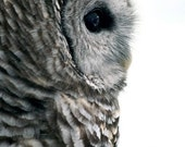 Barred Owl on White - 5x7 Original Signed Fine Art Photograph
