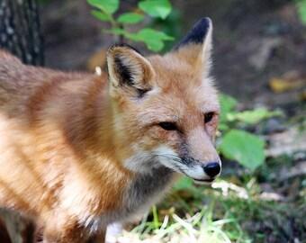 Standing Fox - 5x7 Original Signed Fine Art Photograph