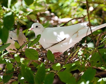 2 Doves in a Tree 1 - 5x7 Original Signed Fine Art Photograph