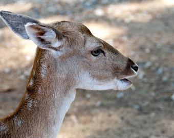 Deer Close-up 1 - 5x7 Original Signed Fine Art Photograph