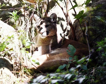 Camouflaged Mountain Lion 2 - 5x7 Original Signed Fine Art Photograph
