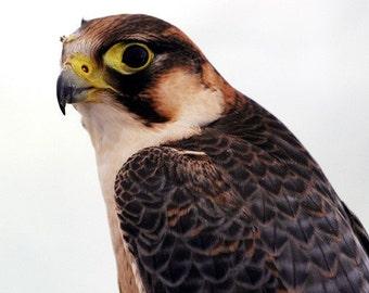 Hawk Profile on White - 5x7 Original Signed Fine Art Photograph