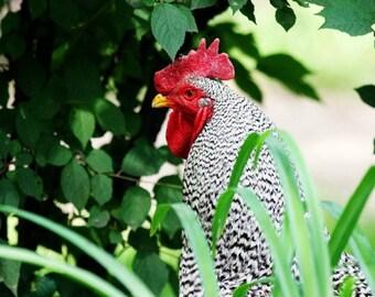 Chicken in the Grass- 5x7 Original Signed Fine Art Photograph