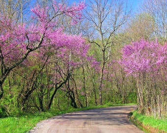 Spring in My Step 8x10 Nature Photography Landscape Pink Redbud Trees Photo Home Decor