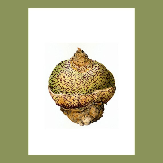 Botanical Card, 'Scadoxus multiflorus'