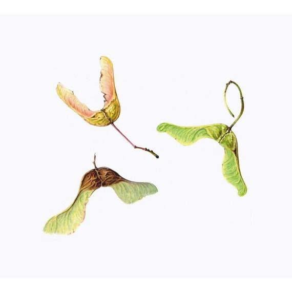 Limited Edition Print 'Maple Seeds'.