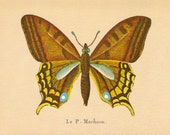 """Vintage Butterfly Print. """"Le. P. Machaon"""". Ready to Frame. (No.4)"""