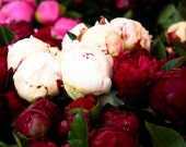 Nature Photography, Fragrant Pink Peonies in Southern France, Ruby Red, Baby Pink, French Bathroom Art