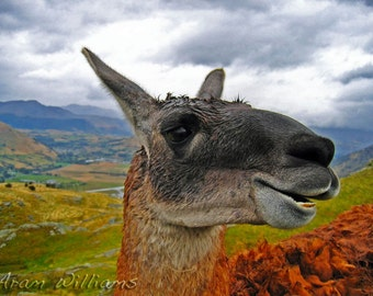 Happy Llama - 8.5 x 11 Photographic Print