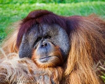 Orangutan - 8.5 x 11 Photographic Print