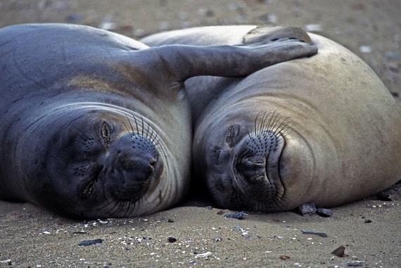 Elephant Seals in Love - 8.5 x 11 Photographic Print