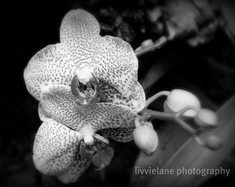 Light of Phalaenopsis No. 2 (Orchid Light Series) - 11 x 14 fine art black and white photograph
