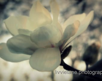 Flower photography - Magnolia Whispers - 11 x 14 fine art color photograph - creamy white gray floral home decor