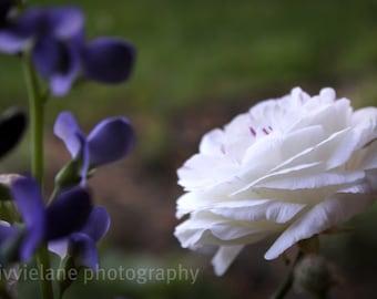 Ranunculus photograph - An Elegant Conversation -  8 x 12 fine art color photographic print