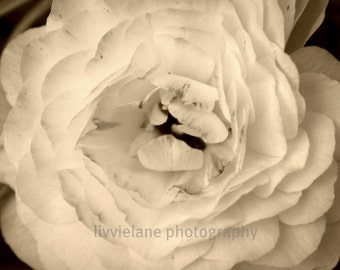 flower photography -- ranunculus in sepia tones, black and white or color- You Are the Best Thing -- 8 x 12 fine art photograph