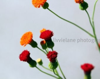 Red and Orange flower photograph - Reaching Out - 16x24 -  spring botanical home decor