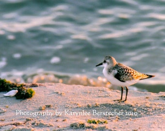 Wistful Sandpiper, Shore Photography, Fine Art Photography, Matted Photography, Beach Decor, Home Decor, Nature Photography, Hostess Gift