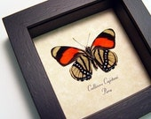 Real Framed Rare Callicore Cajetani Verso Butterfly With Colorful Dots and Patterns 814