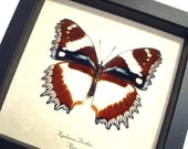HUGE FRILLED RED BLUE PURPLE DEXITHEA BUTTERFLY 193v