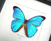 Real Blue Morpho Butterfly Museum Conservation Display 290m