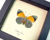 Real Orange Blue Conservation Quality Butterfly Display 394v