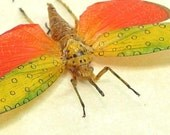 Real Crazy Red and Yellow Polka Dots Lanternfly Insect 2264