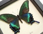 REAL FRAMED BUTTERFLY DISPLAY GREEN PAPILIO MAACKII 119