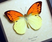 Big Orange Winged Butterfly Conservation Quality Display 280