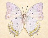 Real Butterfly White Jewel Conservation Quality Display 303v