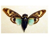Cicada Song Big Aqua Blue Winged Conservation Display 2162