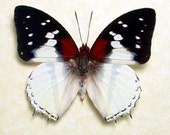 Charaxes Red Spot Real Butterfly Conservation Display 625