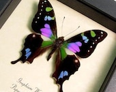 Best Seller Butterfly Purple Spot Swallowtail 229