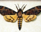 Dad's & Grad's Gift Real Silence Of The Lambs Deaths Head Moth Framed Display 653