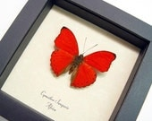 Real Red Heart I Love You Framed Butterfly 397