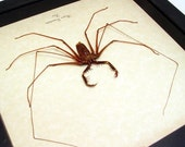 Real Framed Scary Cave Spider Conservation Quality Shadowbox Display 2307s