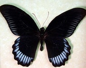 Real Framed Butterfly Black Papilio Blue Bands 7945