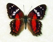 The Red Scarlet Peacock Real Framed Butterfly 615