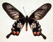 Real Black Swallowtail Framed Butterfly Display 7946