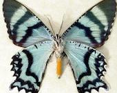 Big Giant Teal Green Blue Zodiac Moth ReaI insects 445v