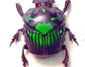 Real Framed Rare Female Green Scarab Beetle Shadowbox Display 2520