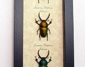 Real Framed 3 Metallic Stag Beetle Collection Shadowbox Display 7972