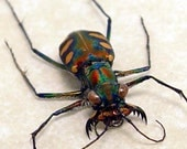 Real Frame Green Red Spotted Tiger Beetle Shadowbox Display 7982