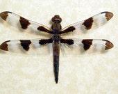 Real Male Twelve Spotted Skimmer Dragonfly Framed 8007