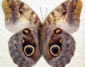 Large Real Owl Butterfly Caligo Memnon Costa Rica 7940