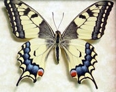 Wedding Day Gift Japanese Butterfly Papilio Machaon Female Real Framed Butterfly 498F