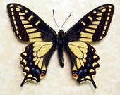 Anise Swallowtail Real North American Framed Butterfly 8065