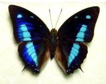 Blue Sky Butterfly Anaea cyanea Metallic Real Framed 137