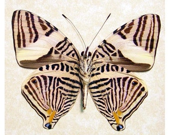 Real Framed Colobura Dirce Kalidoscope Markings Butterfly 161